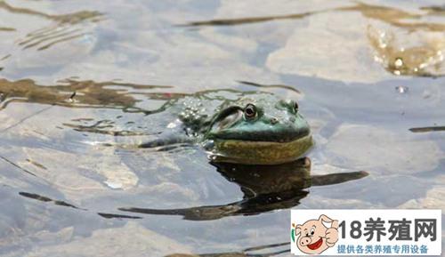 养殖牛蛙多久可以出售呢?