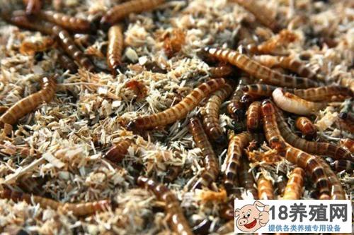 黄粉虫怎么养?黄粉虫养殖技术