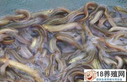 泥鳅吃什么能长得快