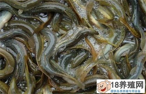 泥鳅养殖技术 无土养殖