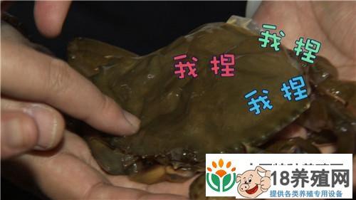 山东青岛花勃靠软壳蟹发硬财