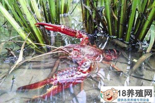一季稻三季虾,每亩能挣6000多元!