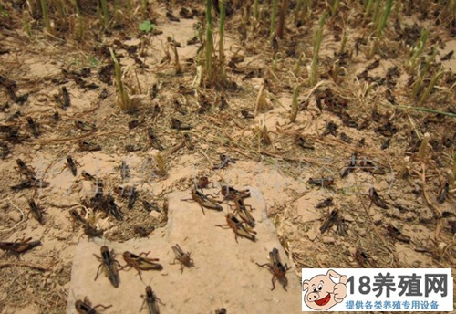 养殖蚂蚱的管理要点