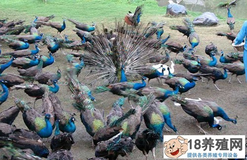蓝孔雀的饲养管理技术