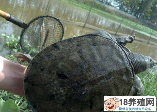 甲鱼的孵化技术介绍