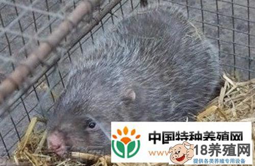 梁秋波山洞养殖竹鼠赚钱有门道(20150504)