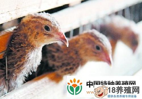养殖鹌鹑技巧及管理要点(2)
