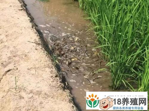 稻田养殖泥鳅技术