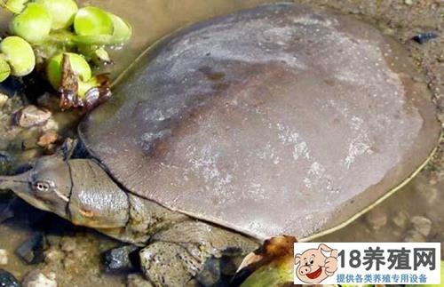 甲鱼生殖器外露的防治技术