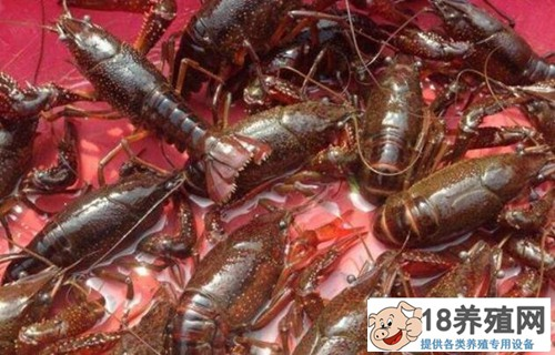 小龙虾价格多少钱一斤?2020年小龙虾行情如何走势
