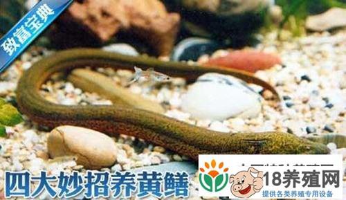 黄鳝不吃食怎么办?如何提高黄鳝成活率?养黄鳝四大妙招