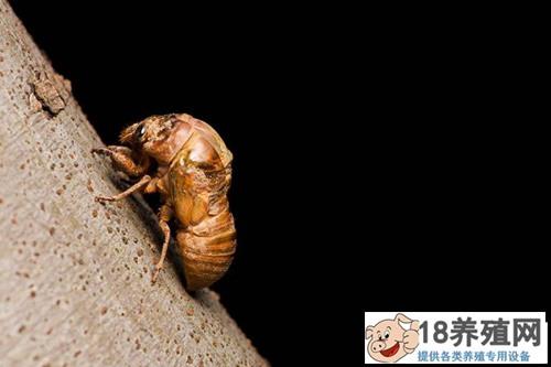 案例分析:金蝉有养殖成功的吗?