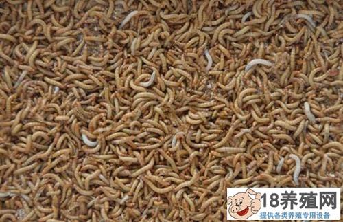冬季养殖黄粉虫的五点经验