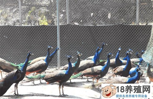 蓝孔雀养殖条件