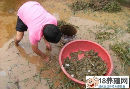 池塘混养菱鳖技术经验(2)