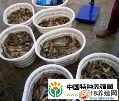 稻田养泥鳅 农村养鳅有哪些优势