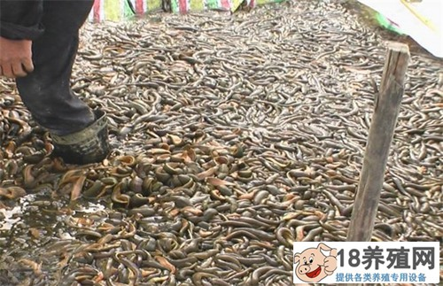 水蛭怎么养殖,对养殖环境条件有什么要求?