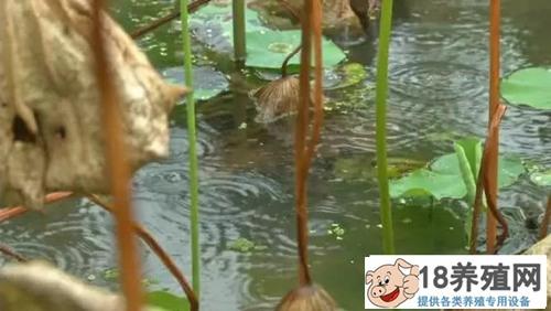 莲藕田养泥鳅,荷鳅共生一亩收入6000元!