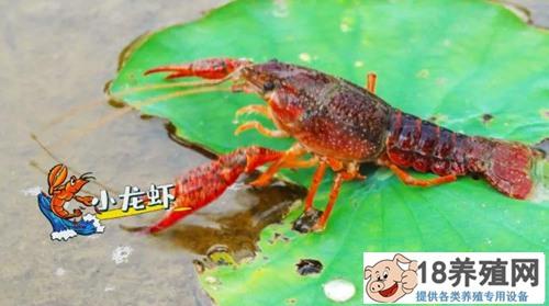 藕池套养小龙虾有哪些诀窍,如何让小龙虾密度合适又增产增收?