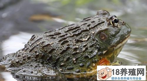 牛蛙是入侵物种吗?