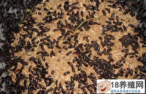 黄粉虫成虫期如何管理(2)