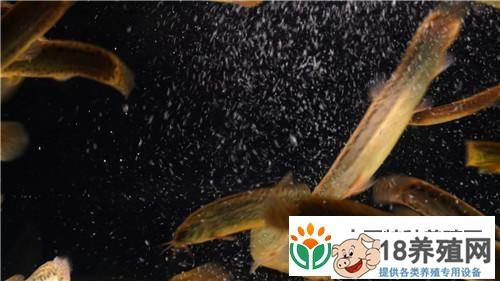 练飞养泥鳅从2万元2亩地起步8年实现千万财富的致富经(2)