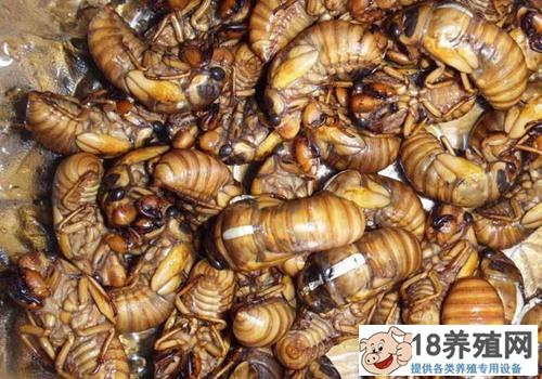 金蝉养殖靠谱吗?金蝉养殖前景