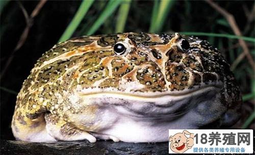 最大的蟾蜍(2)