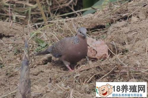 斑鸠喜欢吃什么食物