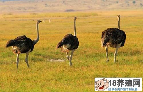 非洲鸵鸟养殖如何越冬?