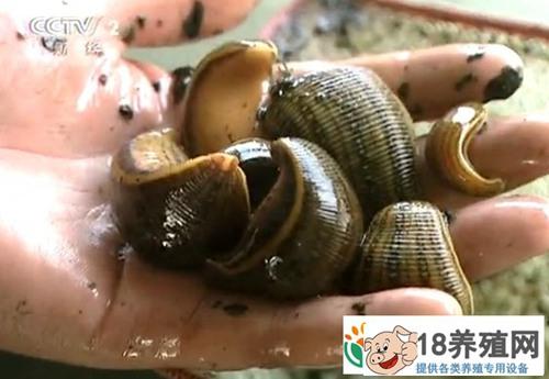 张长威养水蛭年入二千多万,恐怖的蚂蟥惊喜的财富!