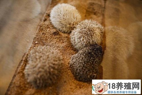 刺猬养殖常见病防治