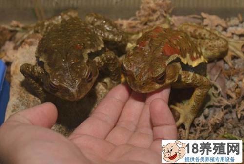 蟾蜍与青蛙的区别(2)