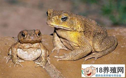 蟾蜍与青蛙的区别
