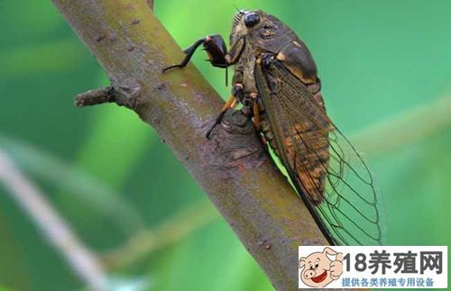 养殖金蝉用什么树好呢