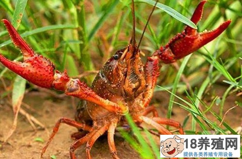 养殖龙虾一亩需要投资多少钱,到底赚不赚钱