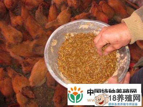 黄粉虫养鸡成本和效益分析(2)