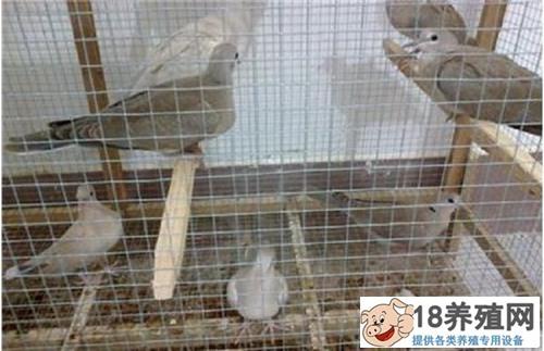斑鸠如何人工繁殖