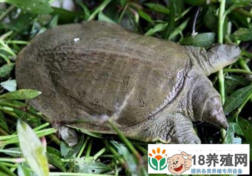 枫泾慈农农业生态园甲鱼养殖基地三年探索实践经验