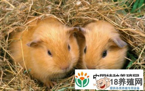 竹鼠的养殖前景和效益怎么样?