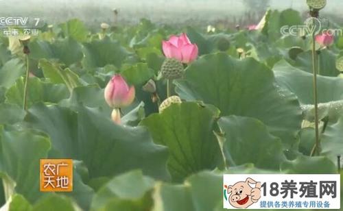 山东鱼台张志成莲藕水蛭泥鳅套养一亩收入1.5万元
