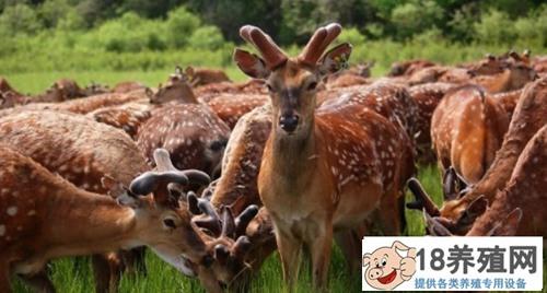 梅花鹿在东北适合养吗?