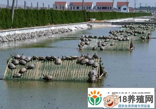 甲鱼人工养殖技术(3)
