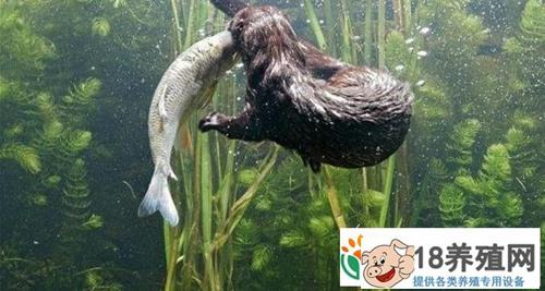 水貂养殖方法