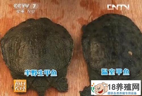 溪水里养的甲鱼半野生养殖效益高