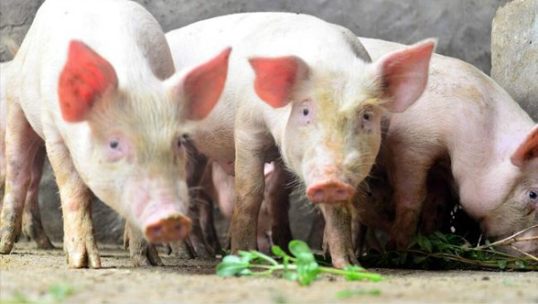 小猪跌到1400元/头,养猪利润涨了。是否编专栏至关重要