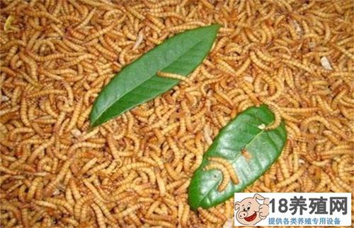 黄粉虫盆养技术