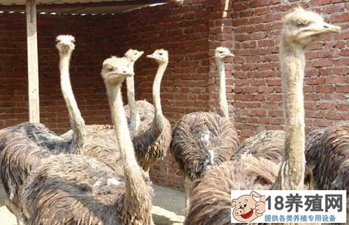 养殖鸵鸟的四大要点(2)