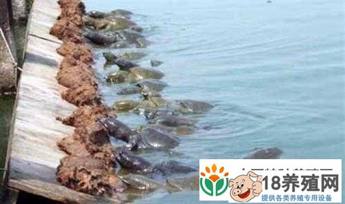 甲鱼的疾病防治与饲养管理(2)