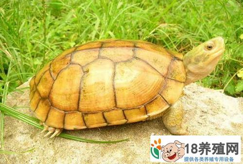 广东惠州李艺养殖金钱龟25年坚守带来的财富